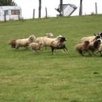 Die armen Schafe